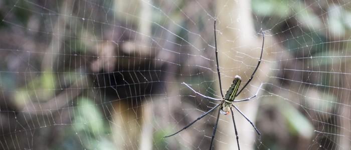 © Clara.Go A spider big as my hand., Chiang Mai, Wat Pha Lat
