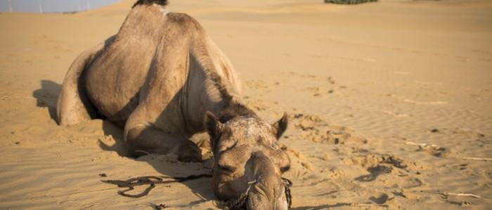 Sam Sand Dunes - I do not recommend anyone to ride a camel, just as I would not recommend going up ride elephants or to take pictures to tigers. Jo no recomano a ningú, fer una excursió a camell, de la mateixa manera que no recomanaria anar a pujar a elefants ni a fer-se fotos amb tigres. Yo no recomiendo a nadie, hacer una excursión a camello, del mismo modo que no recomend